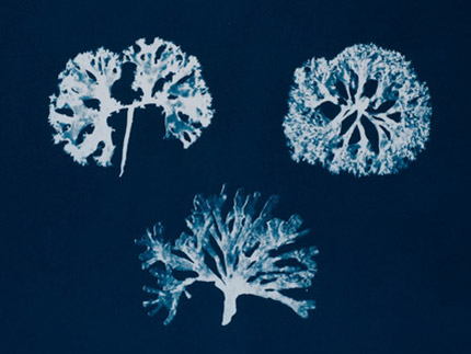 Chondrus Crispus & the Imposter (Cyanotype on Somerset paper)